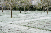 The apple orchard, where frost throws the grid of mown paths between the trees into strong relief.