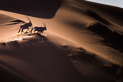 Aerial view of two Gemsbok (Oryx gazella) in sand dunes, Namib Desert, Namibia.