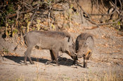 Warthogs fighting (Phacochoerus africanus), Liwonde National Park, Malawi
