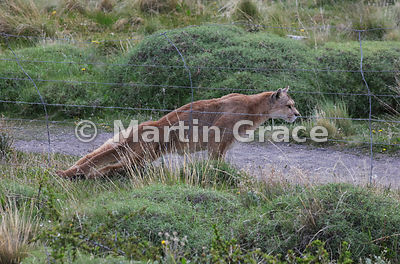 Female Patagonian Puma (Puma concolor patagonica), known as Hermanita, squeezing under the boundary fence separating the Torr...