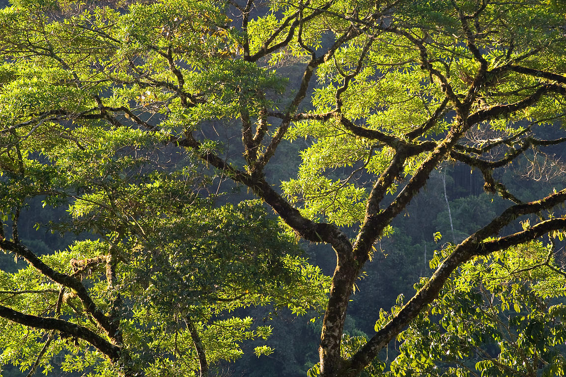 Rainforest tree backlight at sunrise in the Las Nubes Reserve, Costa Rica