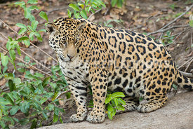 jaguar_sitting_log-1-Edit