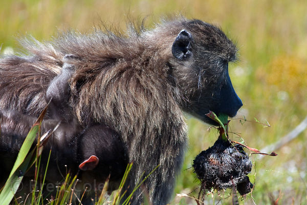 A chacma baboon mother from the Kanonkop troop eating corm of (Watsonia tabularis)?, Smitswinkel Flats, Cape Peninsula, South...
