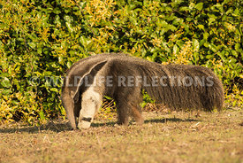 giant_anteater_walking-74