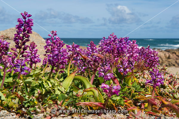 Spring flowers, Cape Columbine Nature Reserve, Paternoster, South Africa