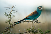 Abyssinian roller, Coracias abyssiniica, Kidepo Valley National Park, Uganda