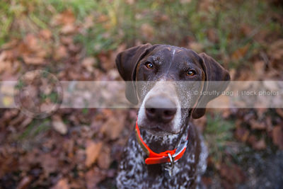 headshot of brown roan gundog looking upward from autumn leaves