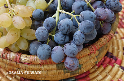 Fruits of Palestine -  Grapes