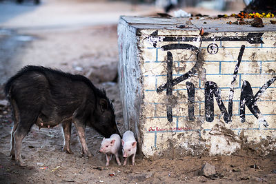 Pink piglets near a sign for the Pink Floyd tourist cafe and hotel in Pushkar, Rajasthan, India