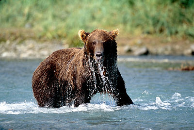 Alaska_Bear_in_water_dripping_looking_at_me