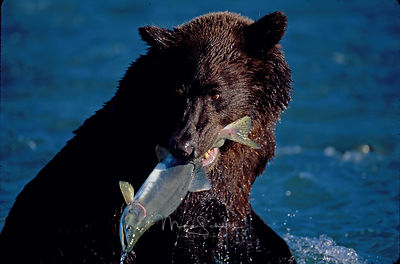 Alaska_Bear_fish_in_mouth_close_up