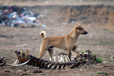 Dog next to a cow skeleton in Pushkar, Rajasthan, India