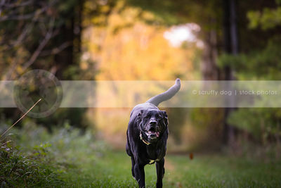 black lab mixed breed dog running in park grass in summer