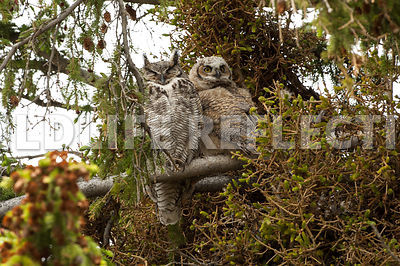 great_horned_owl_mom_and_kid-14