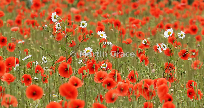 Scentless Mayweed in field of Common Poppy - shortlisted in the Scottish Botanical category of Scottish Nature Photography Aw...