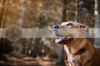 happy tan mutt dog looking skyward in forest of pine trees