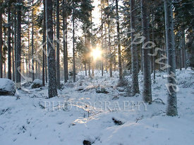 Winter_Forest_Sun