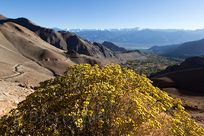 Yellow flowering bush on the way to Khardung La at 14,000 ft., Leh, Ladakh, India
