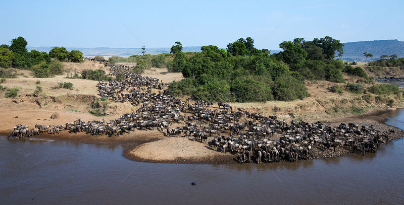 Eastern White-bearded Wildebeest (Connochaetes taurinus) herd preparing to cross the Mara River. Masai Mara National Reserve,...