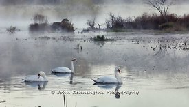 Swans_in_the_Mist_New_Jersey