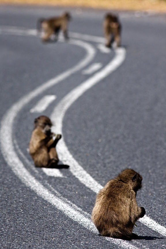 Baboons from the Smitswinkel troop sit on the M4 road near Miller's Point, Cape Peninsula, South Africa