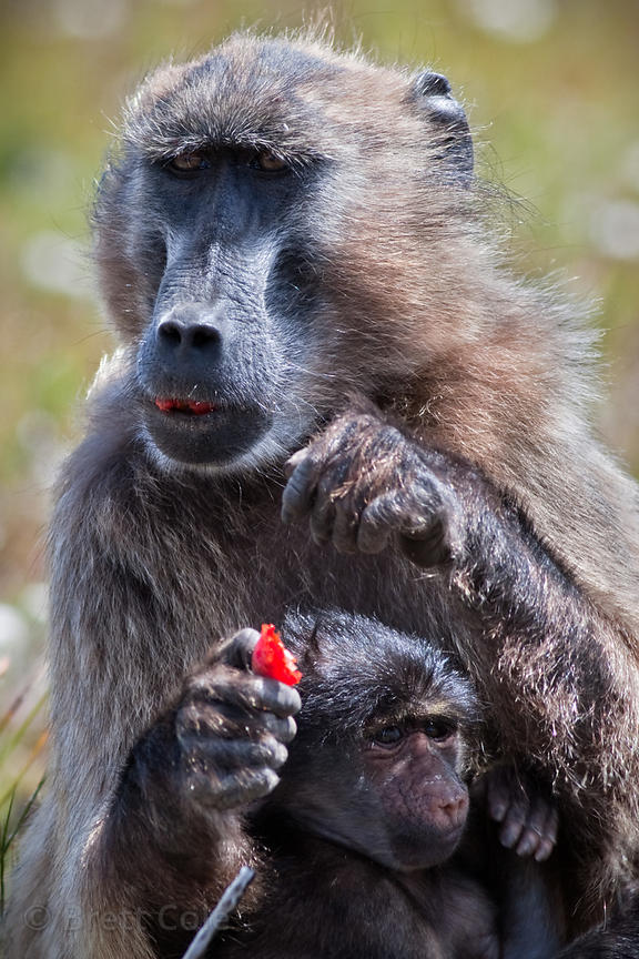 A female baboon from the Plateau Road eats an unidentified red fruit in Smitswinkel Flats, Cape Peninsula, South Africa
