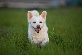 Smiling white mixed breed dog walking through tall grass