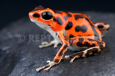 "Strawberry dart frog / Oophaga pumilio ""Bastimentos west"""