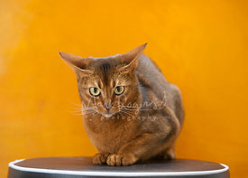 Orange Abyssinian Cat Crouching on Stool in Front of Orange Painting