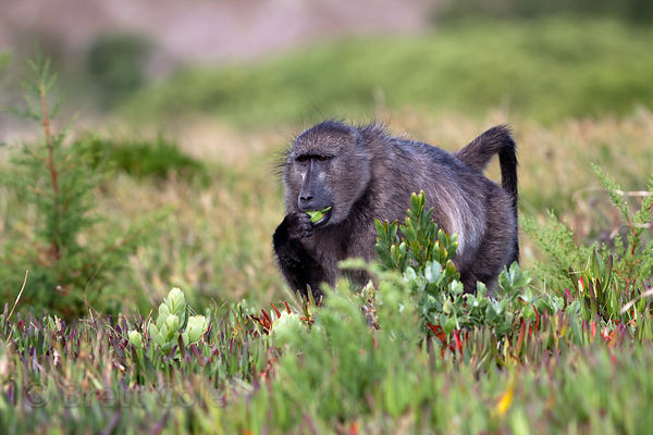 A chacma baboon from the Buffels Bay troop forages for sour figs, Buffels Bay, South Africa