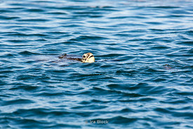 A turtle swimming at Montgomery Reef in Australia' s Kimberley area.
