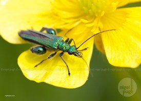 male swollen-thighed flower-beetle- Oedemera nobilis: