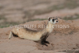 ferret_preburrow_pose-5