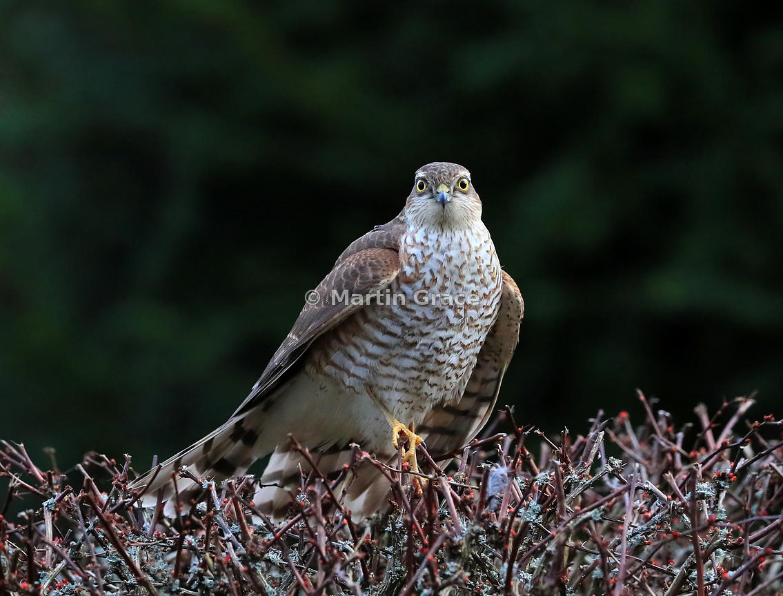 A juvenile male Eurasian Sparrowhawk stands in the top of a Japanese Barberry (Berberis thunbergii atropurpurea), Lyth Valley...
