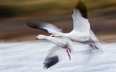 Snow Geese Motion