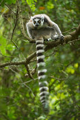 Ring-tailed lemur, Lemur catta, Mandrare River Camp, Ifotaka Community Forest, Madagascar