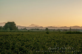 Grape vines in vinyard in foreground, trees in middle distance and mountains in background at sunset.