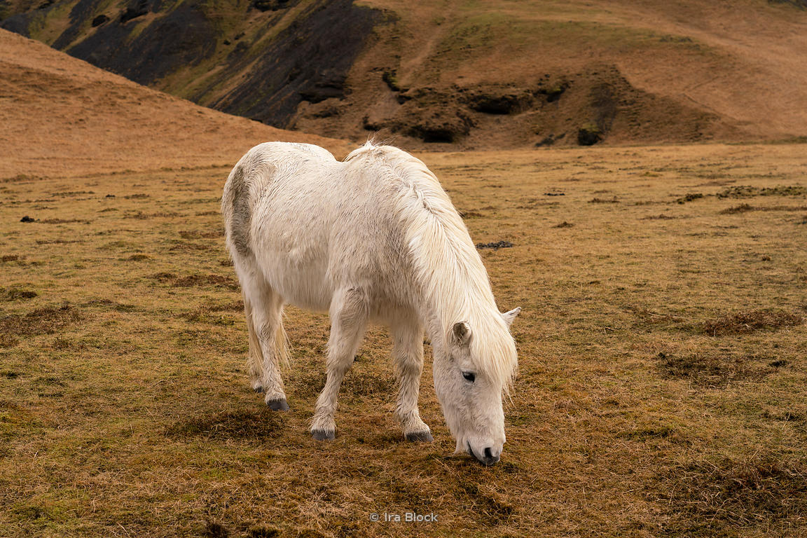 An Icelandic horse on the South west coast of Iceland.