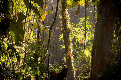 Early morning light in a transition zone between secondary and primary forest, Las Nubes, Costa Rica