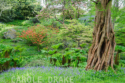 The Dell, a small wooded valley including choice trees and shrubs such as rhododendrdons, pieris and Metasequoia glyptostrobo...