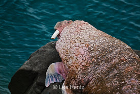 Pacific Walrus male with broken tusk