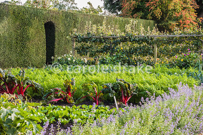 Red stemmed Swiss chard in the kitchen garden with nepeta and espaliered apples. Tintinhull  Garden, Tintinhull, Somerset, UK