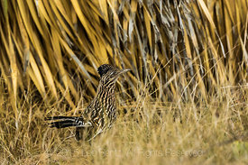 Greater Roadrunner, Geococcyx californianus, Foraging in New Mexico Desert