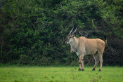 Common eland, Tragelaphus oryx, Lake Mburo National Park, Uganda