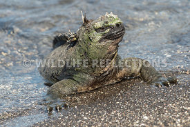 marine_iguana_waters_edge-11