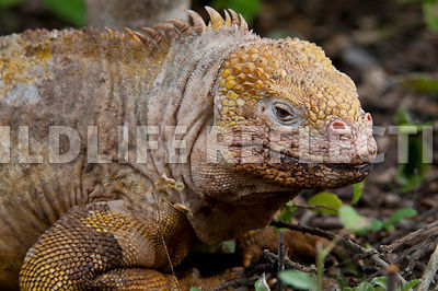 galapagos_land_iguana_side_close_4