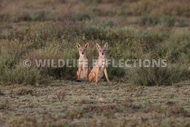 jackal_pair_ndutu_02192015-3-Edit