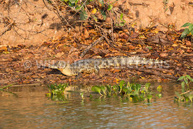 caiman_pond_edge_single-1