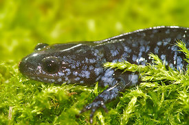 Ambystoma laterale - Blue-spotted Salamander