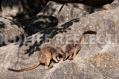 rock_wallaby_mareeba_rock_together-1